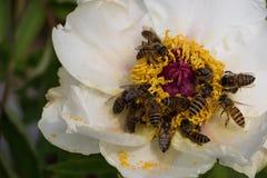 As abelhas colhem o centro de uma flor branca imagens de stock royalty free