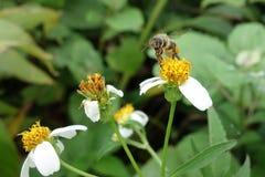 As abelhas comem o néctar Imagem de Stock