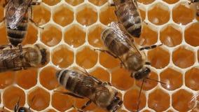 As abelhas convertem o néctar no mel vídeos de arquivo