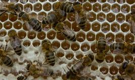 As abelhas convertem o néctar no mel e cobrem-no nos favos de mel Imagem de Stock Royalty Free