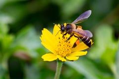 As abelhas de Gaysorn são néctar das flores Abelha em flores com fundo do verde da pastagem Imagens de Stock Royalty Free