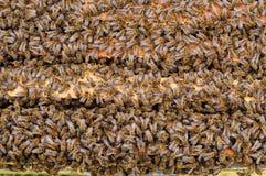 As abelhas dentro da colmeia são colocadas nos pentes Fundo natural foto de stock