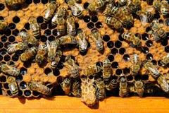 As abelhas destroem a hospedeira do casulo da família Fotografia de Stock