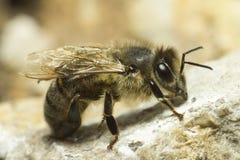 Retrato de uma abelha do mel Imagem de Stock