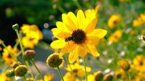 As abelhas do mel recolhem o pólen vídeos de arquivo