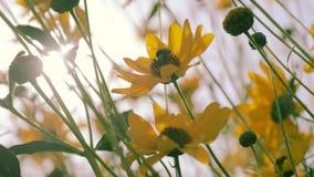 As abelhas do mel recolhem o pólen filme