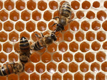 As abelhas estão trabalhando na colmeia. Imagens de Stock Royalty Free