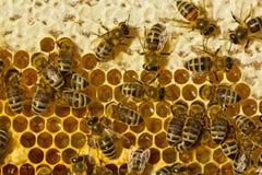 As abelhas fecham o mel Fotografia de Stock