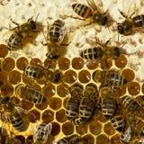 As abelhas fecham o mel Fotografia de Stock Royalty Free