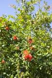 As abelhas polinizam a árvore de romã de florescência fotografia de stock royalty free