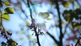 As abelhas que recolhem o néctar da árvore de florescência, polinização, vida despertam na mola vídeos de arquivo