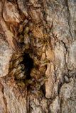 As abelhas recolhem o mel em uma colmeia selvagem na cavidade imagens de stock
