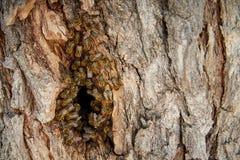 As abelhas recolhem o mel em uma colmeia selvagem na cavidade foto de stock royalty free