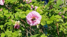 As abelhas recolhem o néctar em flores das rosas vídeos de arquivo