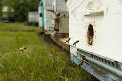As abelhas voam à colmeia e levam o pólen em sucessão na soma foto de stock