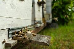 As abelhas voam à colmeia e levam o pólen em sucessão na soma imagens de stock royalty free
