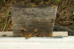 As abelhas voam à colmeia e levam o pólen em sucessão na soma fotos de stock royalty free