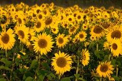 British sunflowers, Whitehouse Green, Berks royalty free stock photo