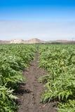 As alcachofras crescem na névoa de Califórnia Imagens de Stock