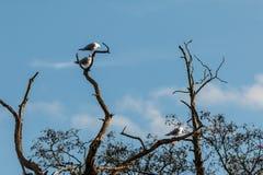 As andorinhas-do-mar comuns em uma árvore em Bradgate estacionam Fotografia de Stock Royalty Free