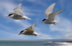 As andorinhas-do-mar dirigem para fora ao mar Imagens de Stock Royalty Free