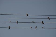 As andorinhas estão sentando-se no fio bonde, fundo do céu azul Descanso pequeno dos pássaros Pássaro nacional estônio Fotos de Stock Royalty Free