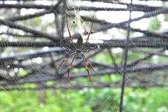 As aranhas da banana ou os esfera-tecelões dourados vivem em uma área mais morna na árvore grande fotos de stock royalty free