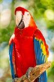 As aros vermelhas, azuis, amarelas repetem mecanicamente exterior o pássaro engraçado bonito bonito de aros emplumadas vermelhas, fotografia de stock royalty free