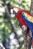 As aros vermelhas, azuis, amarelas repetem mecanicamente exterior Papagaio de Ara Macaw pássaro engraçado bonito bonito de aros e fotos de stock royalty free