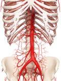 As artérias abdominais ilustração royalty free