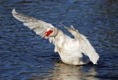 As asas brancas do pato de Muscovy espalharam a aterragem no lago imagens de stock