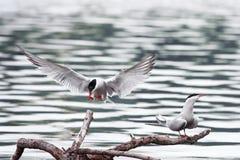 as asas de voo das gaivotas e sentam-se no lago Imagens de Stock Royalty Free