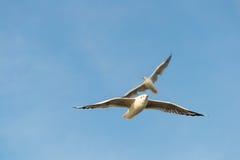 As asas inchadas da gaivota voam o cruzeiro. Foto de Stock Royalty Free