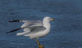 As asas para fora, mantêm-no equilíbrio Fotografia de Stock Royalty Free
