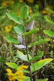 As Autumn approaches this Milk Weed plant`s seed pods are nearly ready to open - Michigan USA Royalty Free Stock Photography