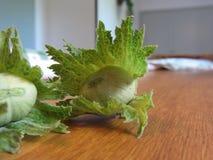 As avelã verdes frescas em uma mão de madeira da tabela apenas escolheram da árvore Imagem de Stock