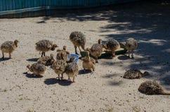As avestruzes pequenas na avestruz cultivam em Yasnohorodka, Ucrânia Fotografia de Stock Royalty Free