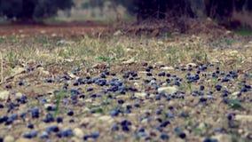 As azeitonas caídas aproximam oliveiras vídeos de arquivo