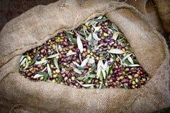 As azeitonas colheram e recolheram em uns sacos no bosque verde-oliva grego imagens de stock royalty free