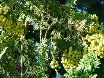 As bagas amadurecem nos ramos de um fruto verde do zimbro closeup verão, agosto ABRAU DURSO, RÚSSIA Fotos de Stock