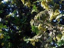 As bagas amadurecem nos ramos de um fruto verde do zimbro closeup verão, agosto ABRAU DURSO, RÚSSIA Imagens de Stock Royalty Free