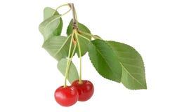 As bagas da cereja em um ramo com verde saem no fundo branco Imagens de Stock
