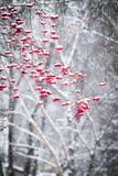 As bagas da cinza de montanha em um inverno estacionam Fotografia de Stock