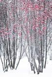 As bagas da cinza de montanha em um inverno estacionam Imagem de Stock Royalty Free