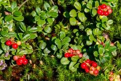 As bagas das airelas & o x28 maduros, frescos; lingonberry, partridgeber Foto de Stock