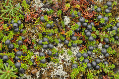 As bagas do Crowberry cobriram a tundra. Imagem de Stock