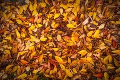 As bagas do espinho do outono atrasado Copyspace imagem de stock