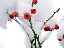 as bagas na neve tampam o inverno Imagem de Stock Royalty Free