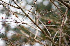 As bagas vermelhas crescem em uma árvore sem folhas Saúde e natureza fotos de stock royalty free