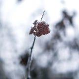 As bagas vermelhas do viburnum espanaram com neve em um ramo Foto de Stock